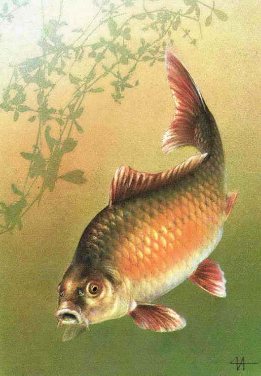 Рис 168460 - рыболовное хозяйство реализует живую рыбу средним и крупным оптом: аму.